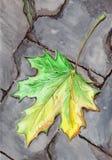Folha caída bordo do outono da aquarela no asfalto Fotos de Stock