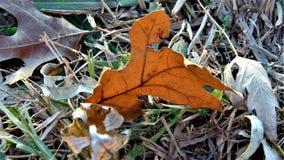 Folha caída do carvalho na terra foto de stock