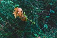 Folha caída inoperante dourada do outono de Brown no horsetail fotografia de stock