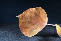 Folha caída no fundo preto fotografia de stock royalty free