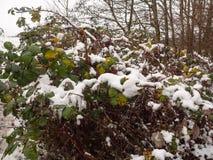 folha coberto de neve fora dos mortos do marrom do verde floresta que morrem perto Foto de Stock