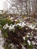 folha coberto de neve fora dos mortos do marrom do verde floresta que morrem perto Fotos de Stock