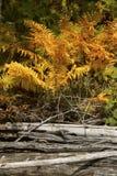 Folha colorida de samambaias de canela na praia, lago flagstaff imagens de stock royalty free