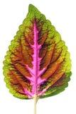 Folha colorida isolada do coleus com matiz múltiplas Imagens de Stock Royalty Free
