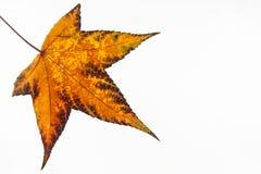 Folha colorida outono do styraciflua do Liquidambar imagens de stock royalty free