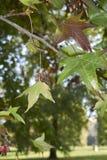 Folha colorido da árvore do styraciflua do Liquidambar fotografia de stock