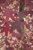 Folha colorido do styraciflua do Liquidambar no outono fotografia de stock