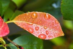 Folha com gotas de água Imagem de Stock