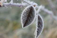 Folha congelada de Bush cor-de-rosa selvagem Fotografia de Stock