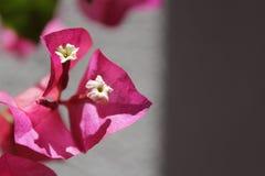 Folha cor-de-rosa Foto de Stock