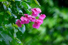 Folha cor-de-rosa Imagens de Stock Royalty Free