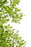 Folha da árvore Imagens de Stock