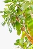 A folha da árvore Imagem de Stock Royalty Free