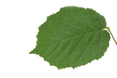 Folha da árvore côr de avelã feche acima no branco Imagens de Stock