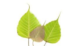 Folha da árvore de Bodhi Imagens de Stock