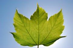Folha da árvore de bordo Imagens de Stock Royalty Free