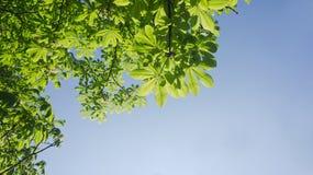 Folha da árvore de castanha Fotografia de Stock Royalty Free