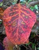 Folha da árvore de fumo no outono Fotos de Stock