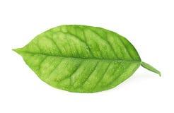 Folha da árvore de limão isolada Fotografia de Stock