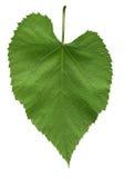 Folha da árvore de linden americana Foto de Stock