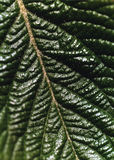 Folha da árvore de nêspera Foto de Stock