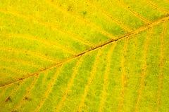 Folha da árvore de noz do outono isolada no fundo branco Fotografia de Stock