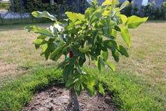 Folha da árvore de noz Juglans regia com o fruto verde que começa amadurecer-se Noz verde em uma árvore Imagem de Stock