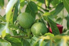 Folha da árvore de noz Juglans regia com o fruto verde que começa amadurecer-se Noz verde em uma árvore Fotos de Stock