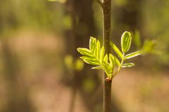 Folha da árvore de Rowan em um fundo da natureza Folha de Ashberry, Rowan Natureza da mola Copie o espaço imagem de stock royalty free