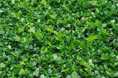 Folha da árvore do asper de Streblus Imagens de Stock