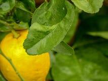 Folha da árvore do limão e de limão imagem de stock