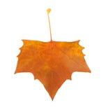 Folha da árvore do Platanus Imagens de Stock