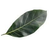 Folha da árvore isolada no branco no fundo branco Fotografia de Stock Royalty Free