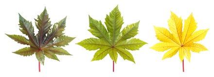 Folha da árvore isolada no branco no fundo branco Imagem de Stock