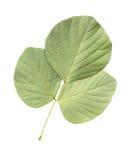 Folha da árvore isolada no branco no fundo branco Imagens de Stock