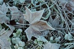 Folha da árvore no inverno Fotos de Stock