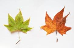 Folha da árvore plana Imagem de Stock Royalty Free