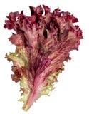 Folha da alface de Lollo Rosso isolada no fundo branco Imagens de Stock