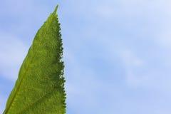 Folha da amoreira branca com fundo do céu azul Fotos de Stock