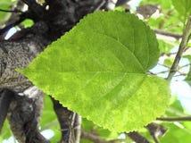 Folha da amoreira ou do Morus na árvore Fotos de Stock Royalty Free