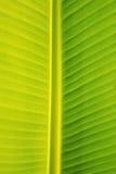 Folha da banana Foto de Stock Royalty Free