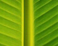 Folha da banana Foto de Stock