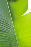 Folha da banana Fotos de Stock