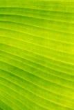 Folha da banana para o fundo, textura, papel de parede Fotos de Stock Royalty Free
