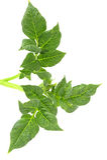 Folha da batata Imagem de Stock