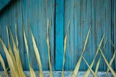 Folha da carne sem gordura da palmeira na parede de madeira azul Imagem de Stock