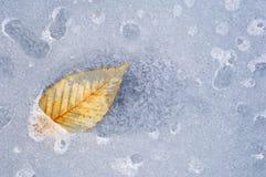 Folha da faia no gelo Fotografia de Stock