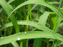 Folha da grama verde Foto de Stock Royalty Free