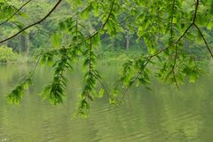 Folha da grande mola pendendo sobre de Pond do granadeiro de Dawn Redwood High Park Imagem de Stock