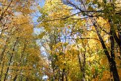 Folha da laranja do amarelo do céu azul das folhas de bordo do outono Imagens de Stock Royalty Free